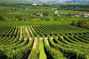 Кражба на гроздето от цял лозов масив – | sommelier.bg