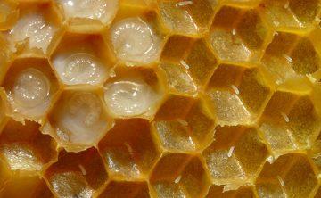Лечение с пчелно млечице
