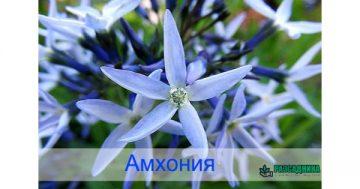 Амхония – синята звезда