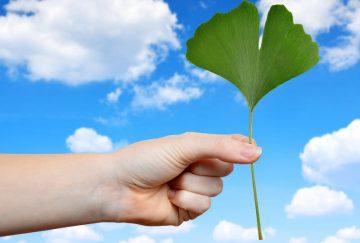 Гинко билоба – ползи и ефект върху кръвообращението | Ентан