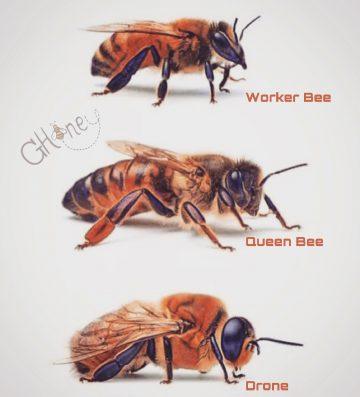 За QueenBee, работничките и търтея – не по-малко важен!