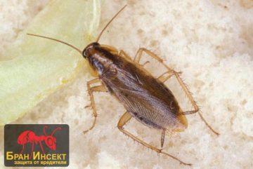 Борба с хлебарки | Фирма за унищожаване — Бран Инсект