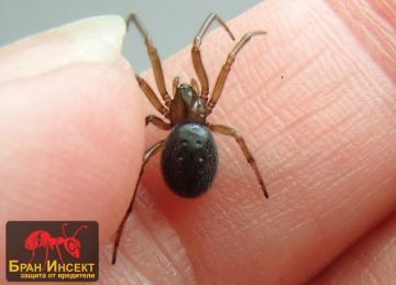 Домашните паяци в България – видове и местообитание — Бран Инсект