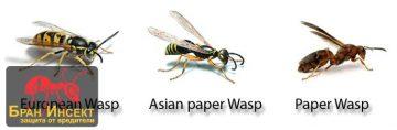 Видовете оси, живеещи в България — Бран Инсект