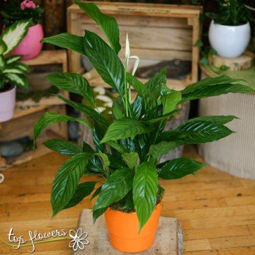 Спатифилум – красиво декоративно растение за всеки интериор