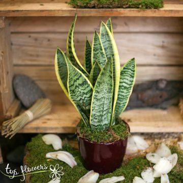 Сансевиера – декоративно растение за интериора на всеки дом